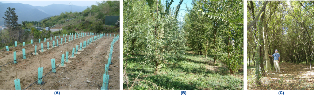 Energy-rich rapid-growth forestry: test terrain at Bossarino, Vado Ligure (joint endeavour Tecnoforest and DIMSET/SCL) Sequence of pictures: Transplanting (A); After 18 months (B); After 7 years (C)